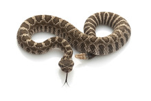 Northern Pacific Rattlesnake