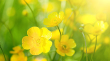 Buttercup Flowers And Summer Day
