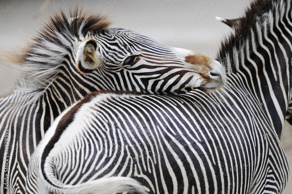 Fototapety, obrazy: Dwie zebry
