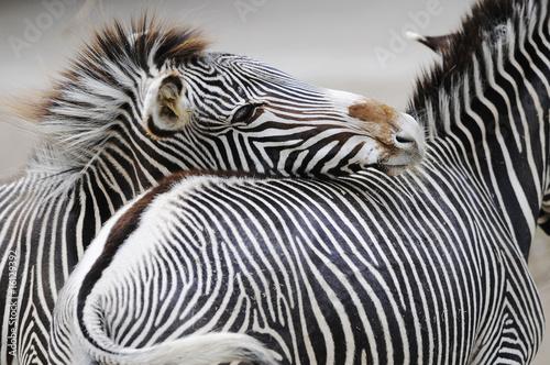 Obraz Dwie zebry - fototapety do salonu