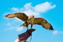 Portrait Hawk On Falconer Gloves
