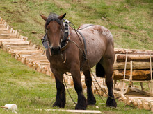 Draught Horse Pulling A Sledge Containing A Pile Of Logs