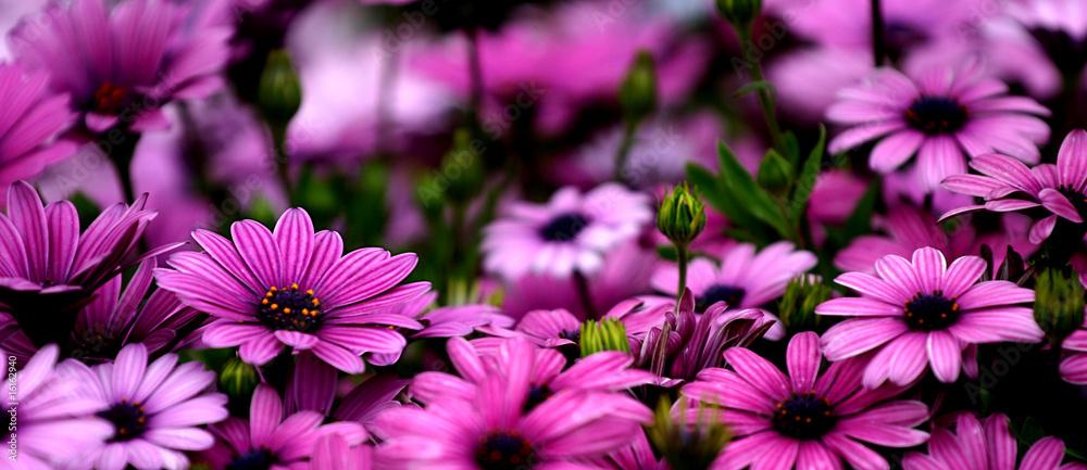 Fototapety, obrazy: 花 Osteospermum