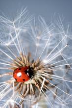 Ladybird On A Dandelion