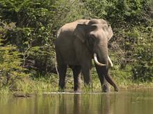 An Indian Elephant In Sri Lanka