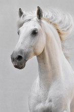 White Horse Stallion Isolated On The Gray Background