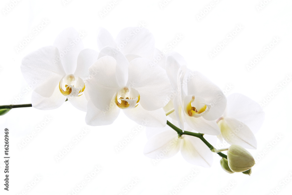 Fototapety, obrazy: Branch of beautiful fresh orchid isolated on white background