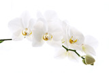Fototapeta Storczyk - Branch of beautiful fresh orchid isolated on white background