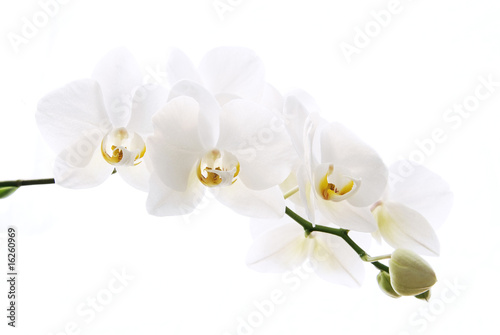 Branch of beautiful fresh orchid isolated on white background