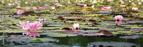 pink waterlily #16262356