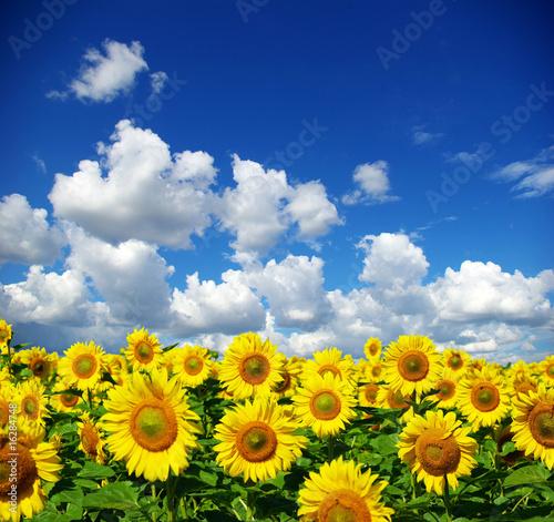Foto-Kissen - sunflower field (von Pakhnyushchyy)