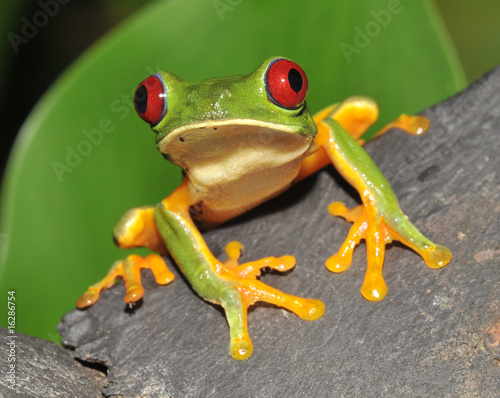 Tuinposter Kikker red eyed green tree frog curiously looking at camera