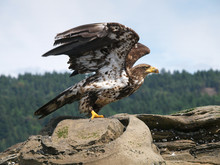 Immature Bald Eagle Ready For Take Off