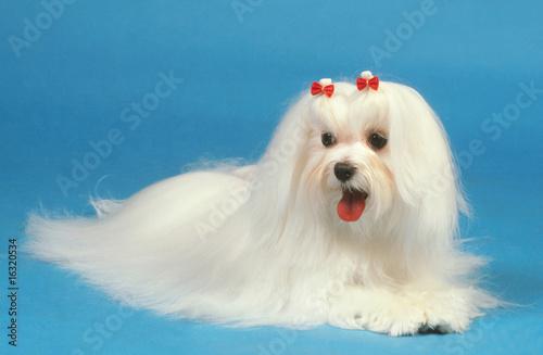 Valokuva  bichon maltais très blanc avec noeuds rouges sur la tête