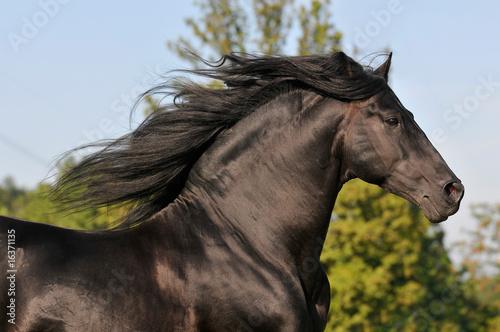 Obraz na plátne The free black pura raza espanola horse run gallop