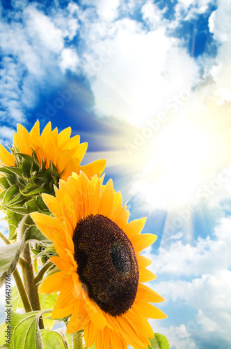 Foto-Schiebegardine ohne Schienensystem - Sunflower on a background of the blue sky and sun (von Dmitrijs Dmitrijevs)