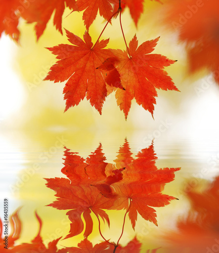 Foto-Schiebegardine ohne Schienensystem - Autumn maple leaves (von haveseen)