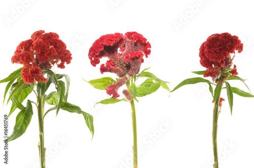 Valokuva  Three red celosia against on white