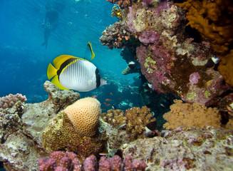 Naklejka na ściany i meble Fish, corals and snorkeling man