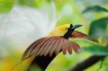 Dancing Bird Of Paradise