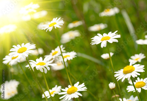 Foto-Duschvorhang - White and yellow daisies.