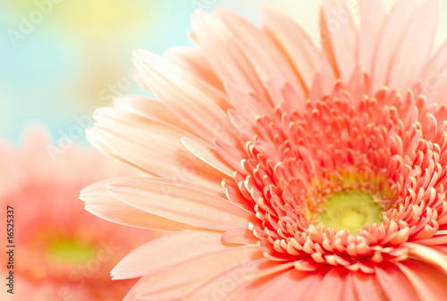 Foto-Duschvorhang - Closeup photo of pink daisy-gerbera