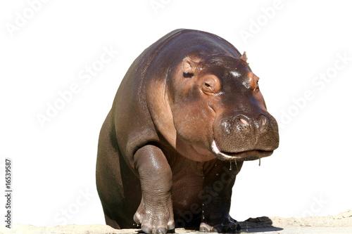 Hippopotamus isolated on white.