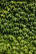 canvas print picture - Epheublaetter gruen vollformatig