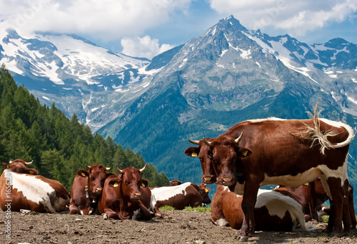 Photo sur Aluminium Népal Cow Blue