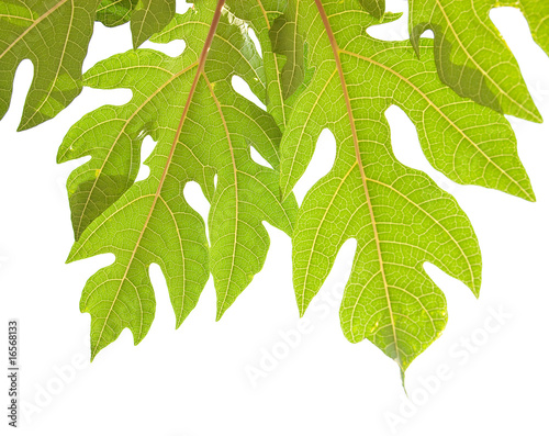 liscie-drzewa-papai