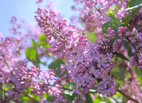 Spoed Foto op Canvas Lilac Fragrant lilac bush