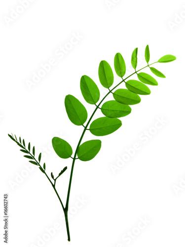 Photo acacia leaf  isolated