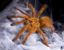 Tarantula On Web