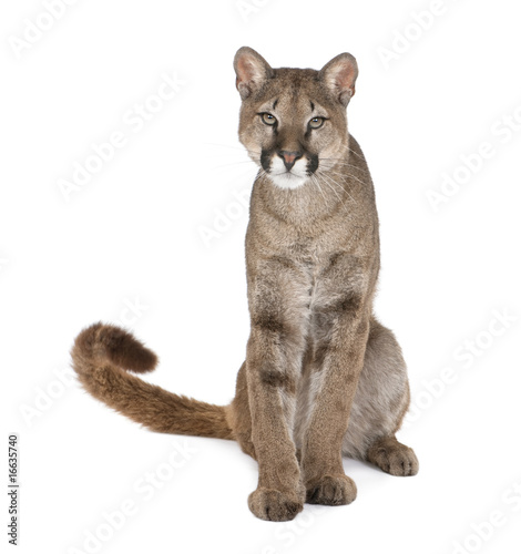 Fotobehang Puma Portrait of Puma cub, Puma concolor, 1 year old, sitting, studio