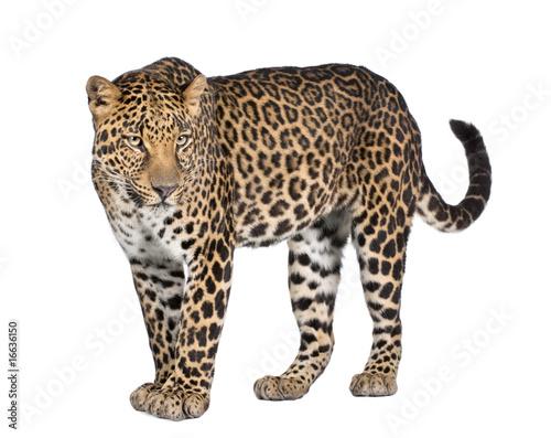Poster Leopard Portrait of leopard, Panthera pardus, standing, studio shot