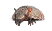 Portrait Of Armadillo -  Dasyp...