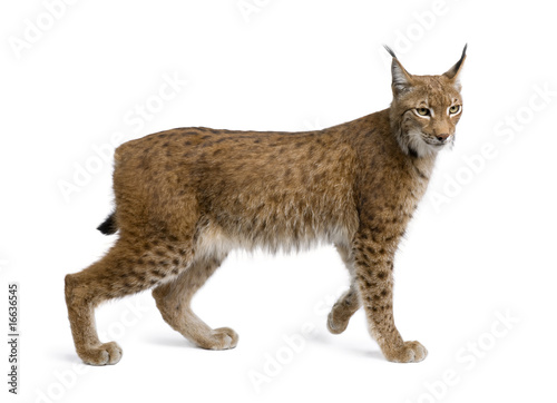 In de dag Lynx Eurasian Lynx, lynx lynx, 5 years old, standing, studio shot
