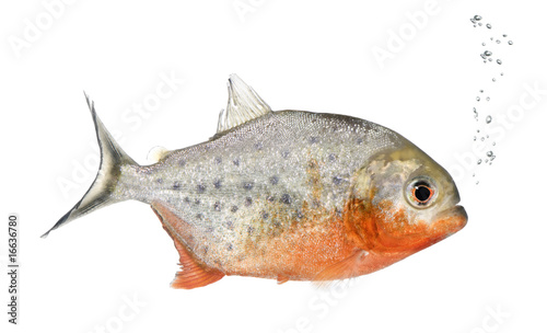 Obraz na plátne Piranha, Serrasalmus nattereri, studio shot