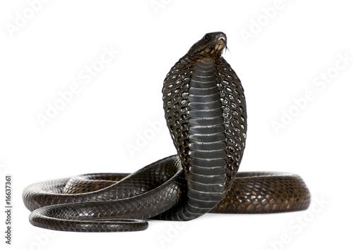 Deurstickers Luipaard Egyptian Cobra, Naja Haje, studio shot