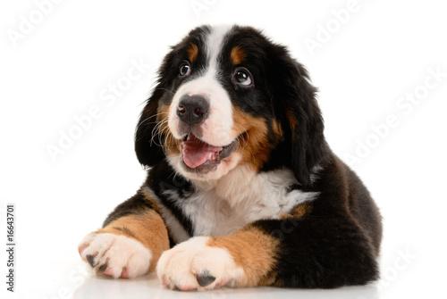 Poster de jardin Vache Berner sennenhund pup on a white background