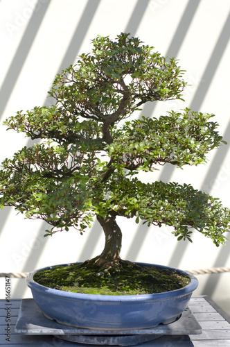 Foto-Lamellen - Bonsai Tree (von rrodrickbeiler)