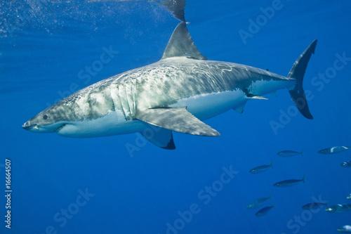 Fotografie, Obraz  Great White Shark