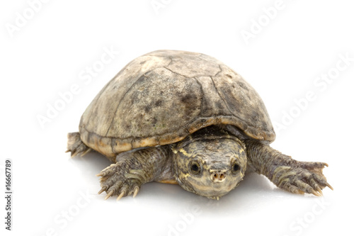 Tortue Common Musk Turtle