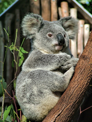 Deurstickers Australië Koala is sitting on the tree