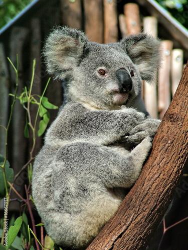 Garden Poster Koala Koala is sitting on the tree