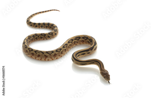 Fotografía  Mexican Lined Gopher Snake