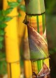 Chiński bambus