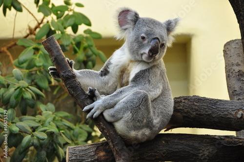Fotobehang Koala Bärchen