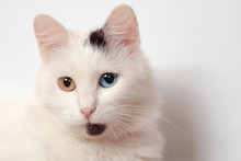 Unusual White Lady-cat With The Different Colored Eyes