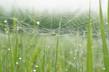 稲の間のクモの巣